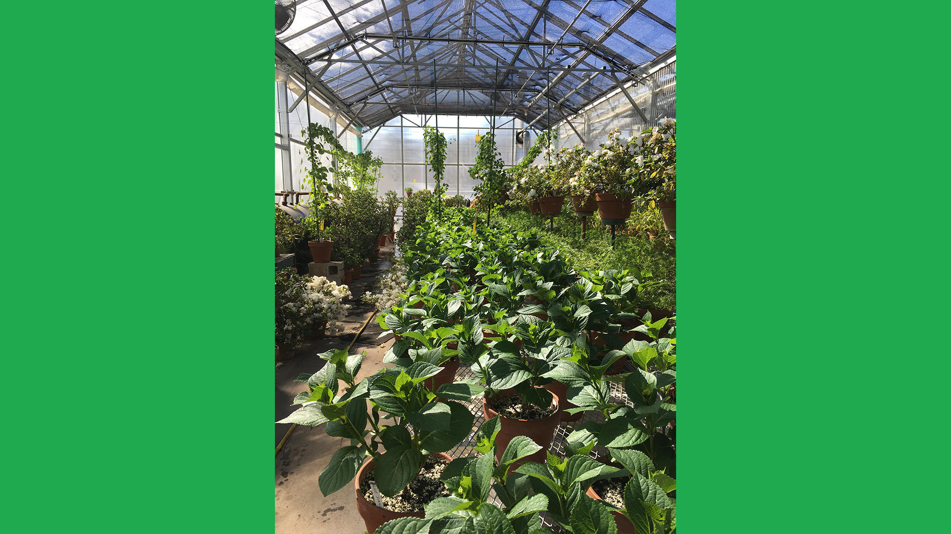 A third view of the Hingham Nursery greenhouses.