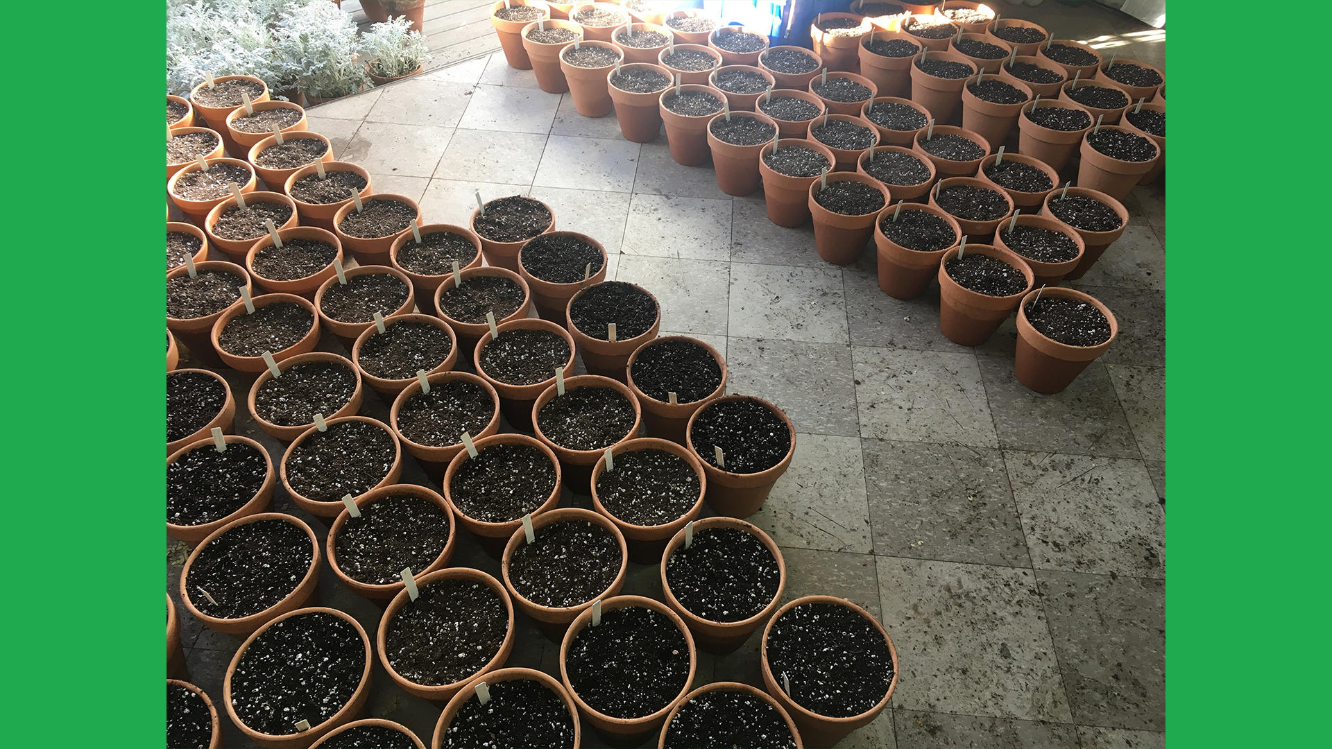 Spring bulbs potted up last November.