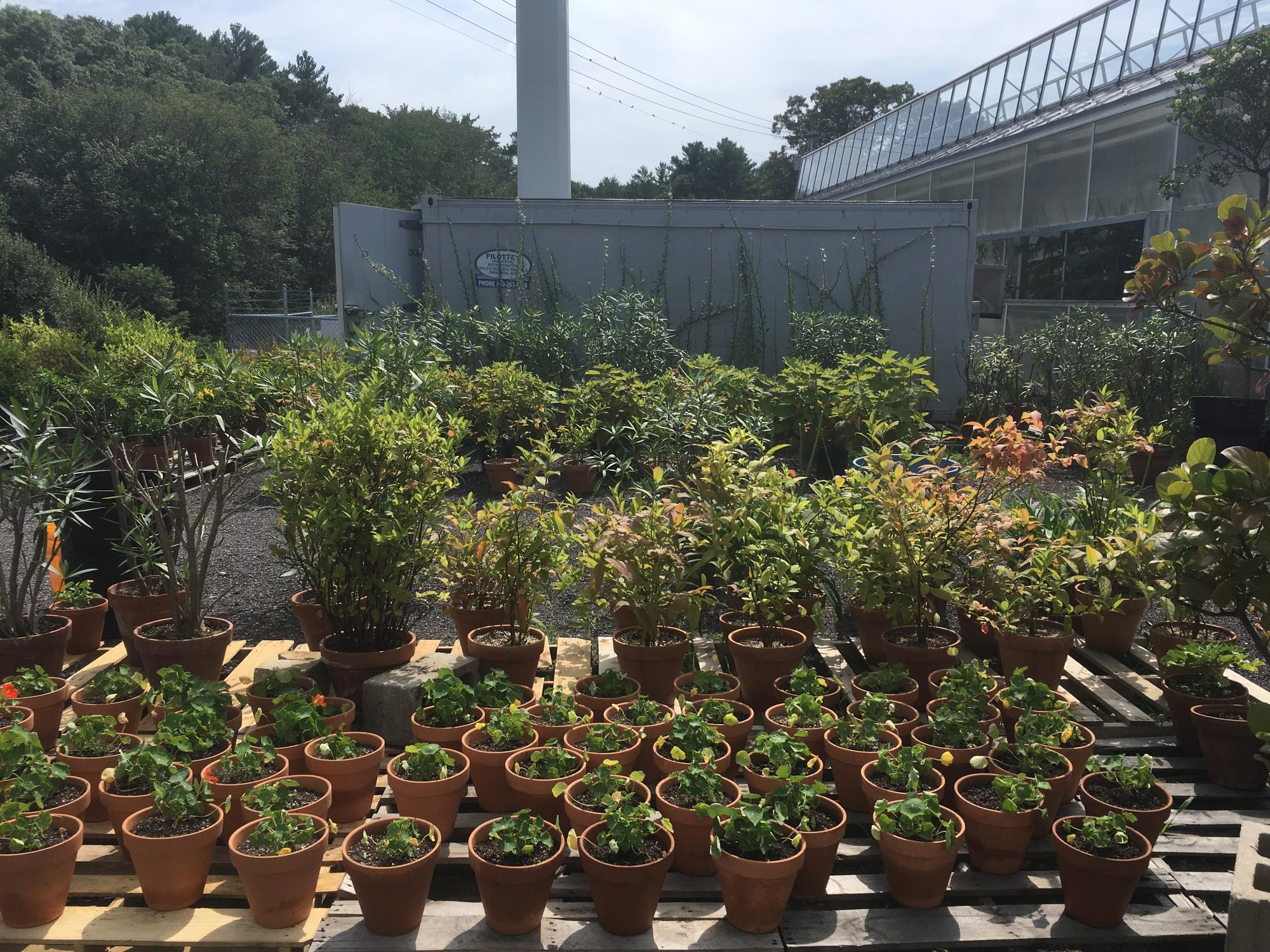 A wider view of the outdoor growing space at our South Shore nursery, where the nasturtiums are growing.