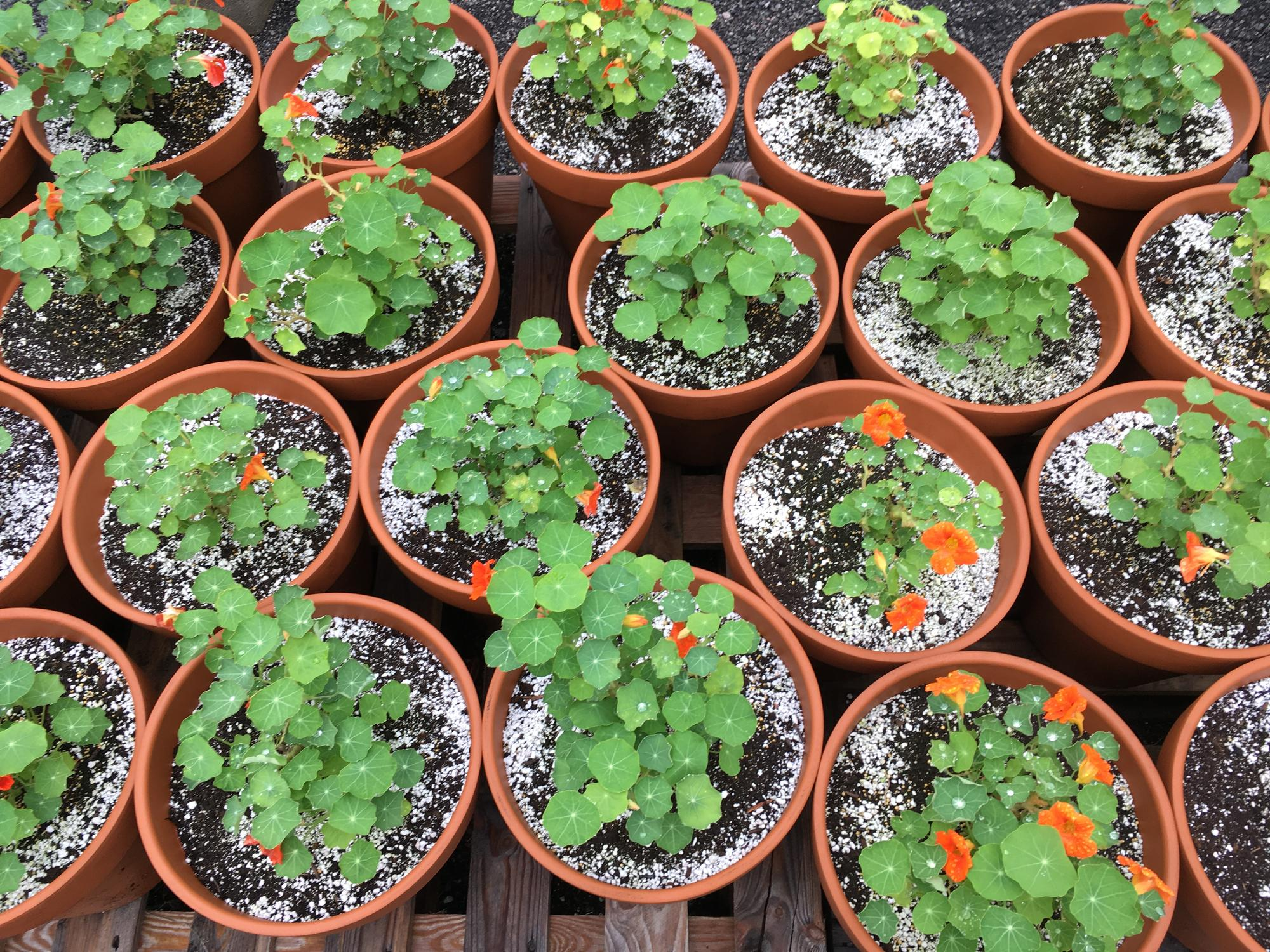 An overhead shot of the tiny nasturtium plants, just beginning to grow their first flowers.