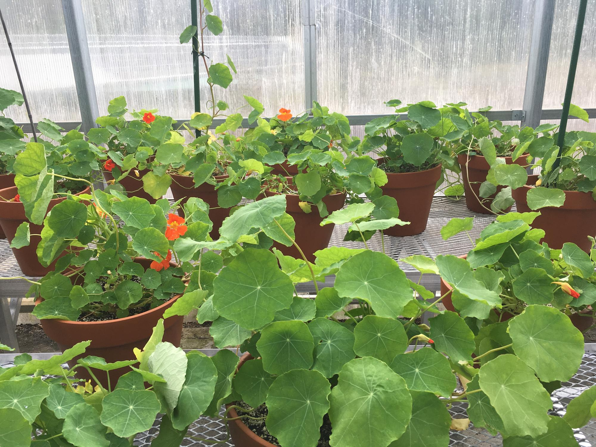 The nasturtiums are moved indoors for the colder months. A close up shot of them growing inside the South Shore greenhouse space.
