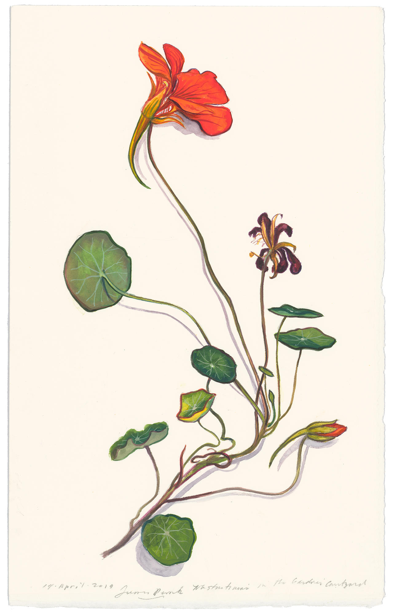 A watercolor painting of a single nasturtium