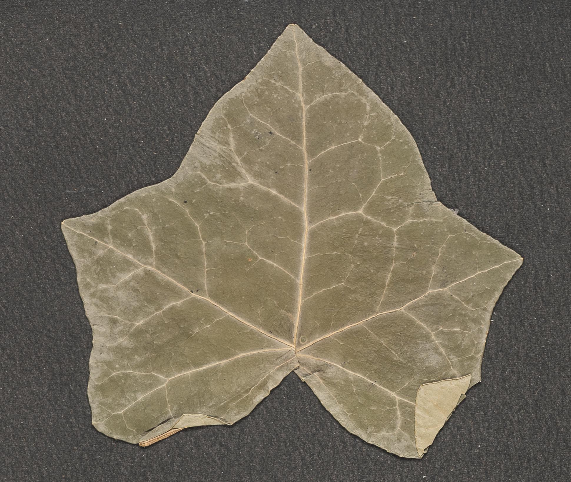 A worn out leaf.