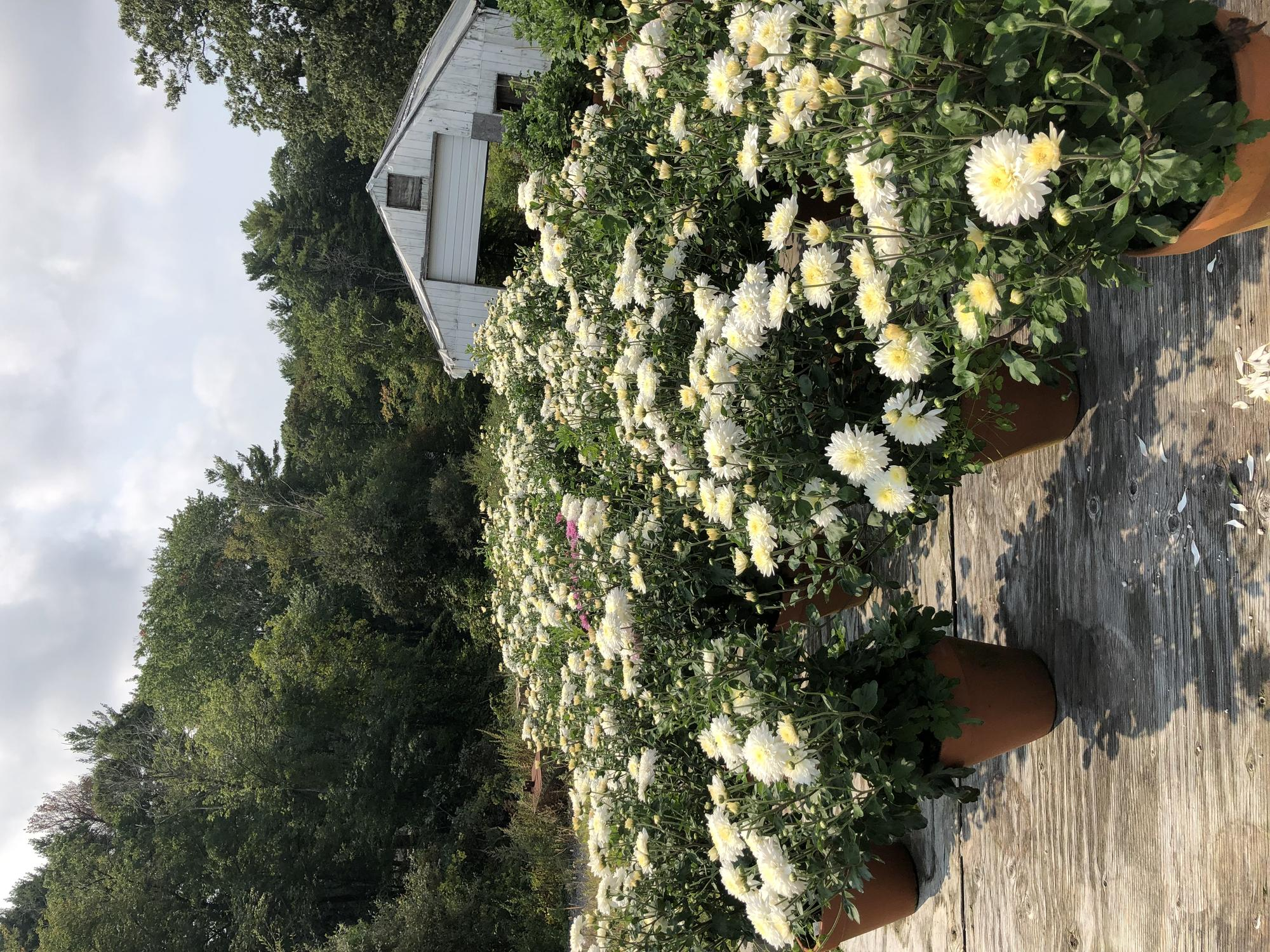 Bloomed Chrysanthemums in pots outside.
