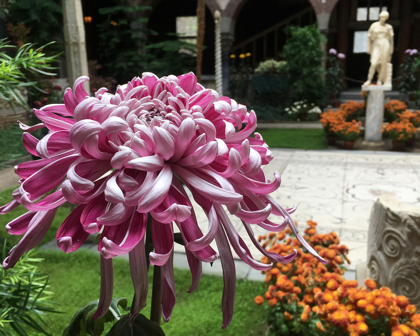 A Lili Gallon, which has irregular incurve class (purple + white), large showy reflexing bloom of unusual color combination. Very long deep wine purple florets that curl to show stunning reverse color of silver.