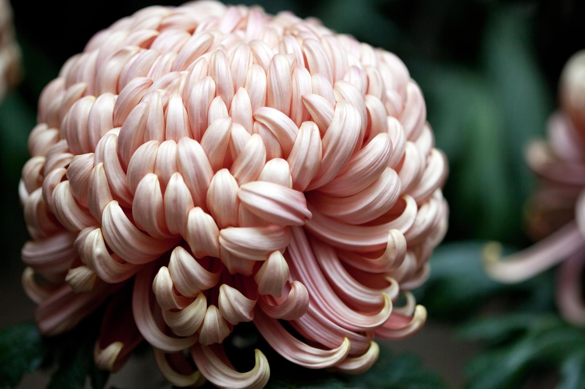 Chrysanthemum from the courtyard display at the Isabella Stewart Gardner Museum