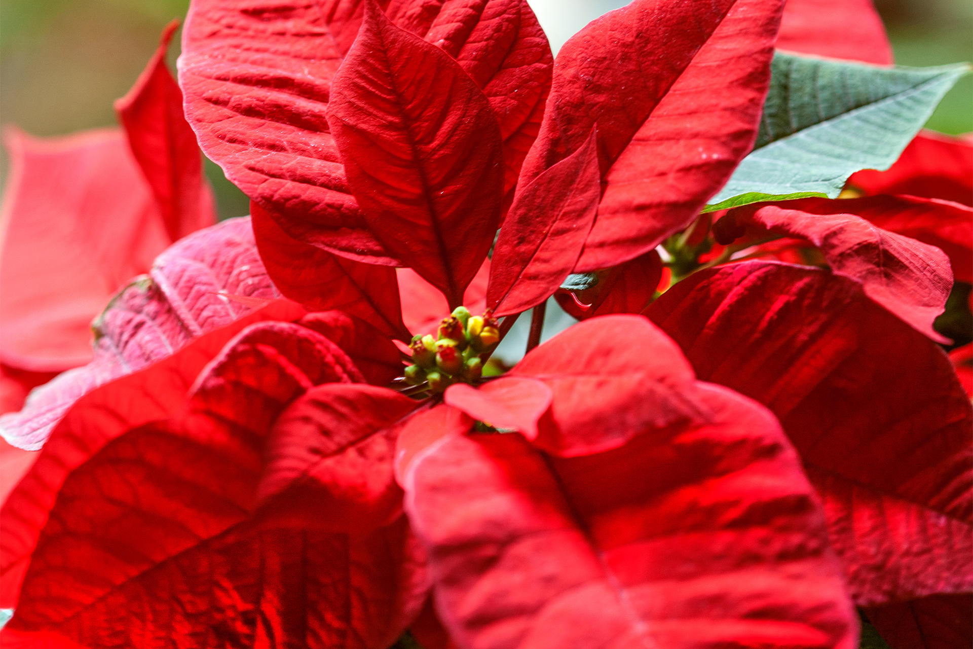 Red poinsettia in the holiday garden courtyard at the Isabella Stewart Gardner Museum.