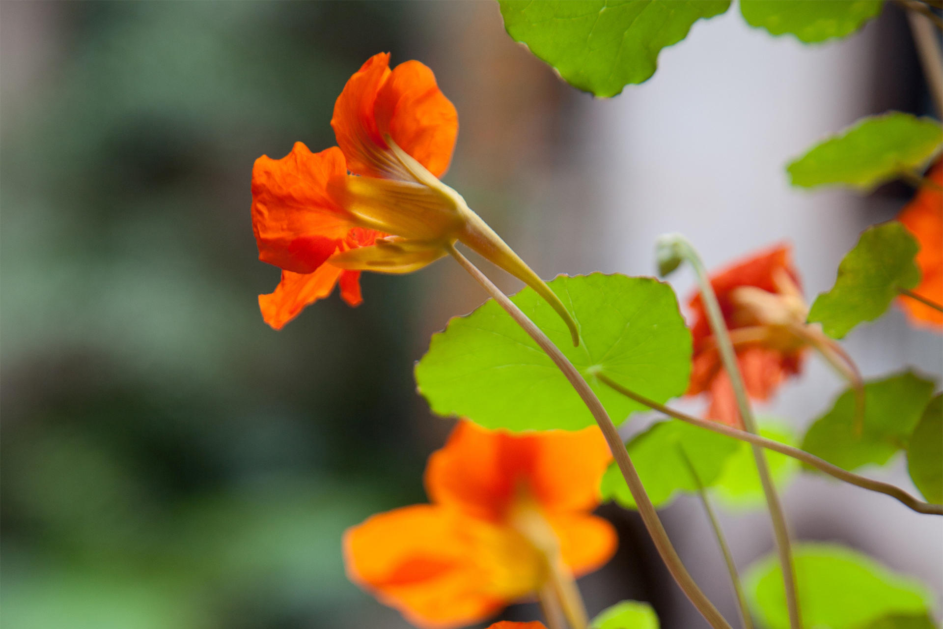 Hanging Nasturtiums courtyard display at the Isabella Stewart Gardner Museum.